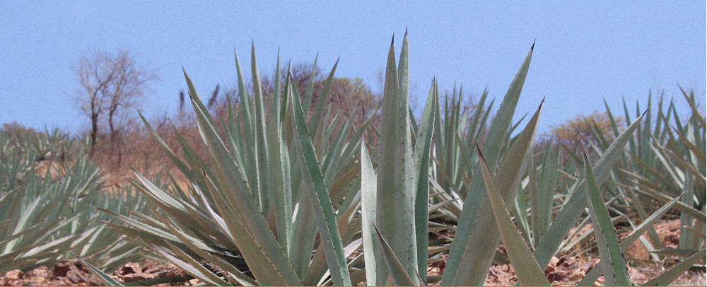 Know the mezcal A-B-C